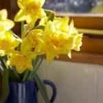 Garden_Daffodil